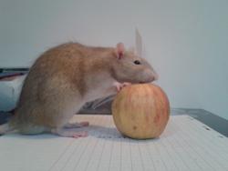 Kenzo, rongeur Rat