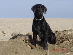Kenzo, chien Braque de Weimar