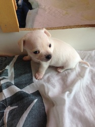 Kenzo, chien Chihuahua