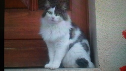 Kenzo, chat Maine Coon