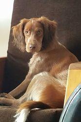 Kenzo, chien Épagneul breton