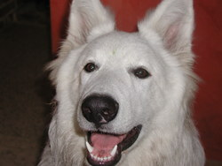 Kenzo, chien Berger blanc suisse