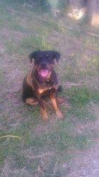 Kenzo, chien Rottweiler
