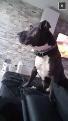 Kenzo, chien American Staffordshire Terrier