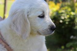 Kenzo, chien Golden Retriever