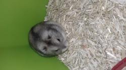 Kenzo, rongeur Hamster