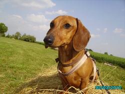 Kenzo, chien Teckel