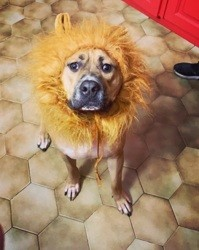 Kenzo, chien American Staffordshire Terrier