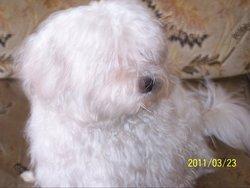 Kenzo, chien Bichon maltais