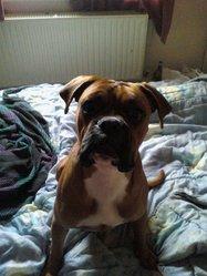 Kenzo, chien Boxer