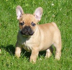 Kenzo, chien Bouledogue français