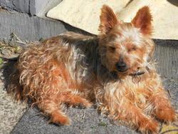 Kenzo, chien Yorkshire Terrier