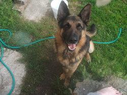 Kenzo, chien Berger allemand