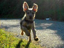 Kenzo, chien Griffon nivernais