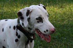 Kenzo, chien Dalmatien