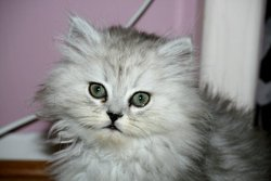 Kenzo, chat Chinchilla Persan