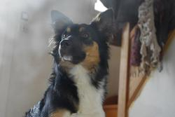 Keops, chien Border Collie