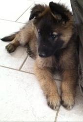 Keos, chien Berger belge