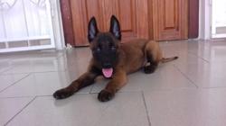 Keris, chien Berger belge