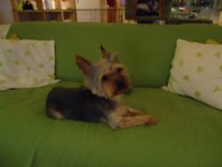 Kero, chien Yorkshire Terrier