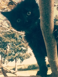 Kéro, chat Angora turc