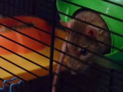 Kerry, rongeur Rat
