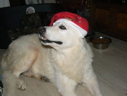 Kerton, chien Berger blanc suisse