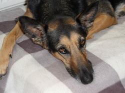 Keta, chien Chien courant espagnol
