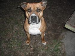 Keta, chien American Staffordshire Terrier