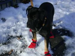 Kettoune, chien Cane Corso
