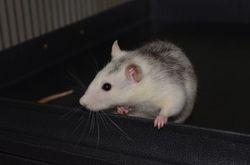 Kevin, rongeur Rat
