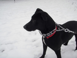 Keyla, chien Labrador Retriever