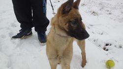 Keyla, chien Berger belge
