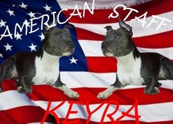 Keyra, chien American Staffordshire Terrier