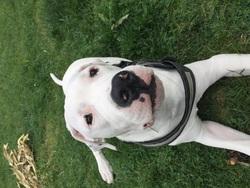 Keyser , chien Dogue argentin