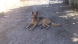 Keyzer, chien Berger allemand