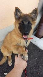 Khaleesi, chien Berger belge
