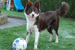 Khallac, chien Border Collie