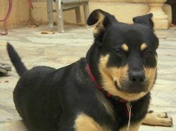 Khamsa, chien Beauceron