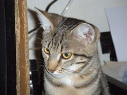 Kheops, chat Gouttière