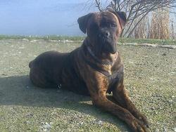 Kheops, chien Cane Corso