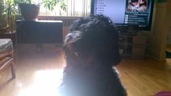 Khira, chien Bouvier des Flandres