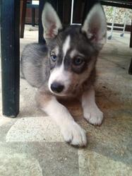 Khira, chien Husky sibérien