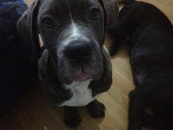 Khira, chien Cane Corso