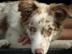 Khyra, chien Border Collie