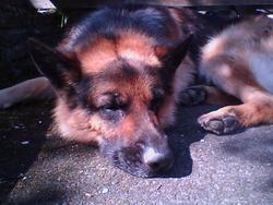 Ki-Du, chien Berger allemand