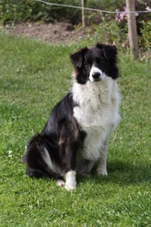 Kiana, chien Border Collie