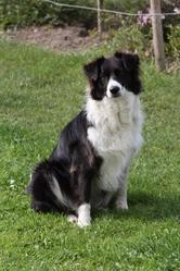 Kiana, chien Border Collie