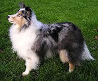Kiara, chien Colley à poil long