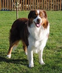 Kiara, chien Berger australien